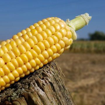 Ceny kukurydzy na szczytach ze względu na pogodę. Miedź powoli zyskuje