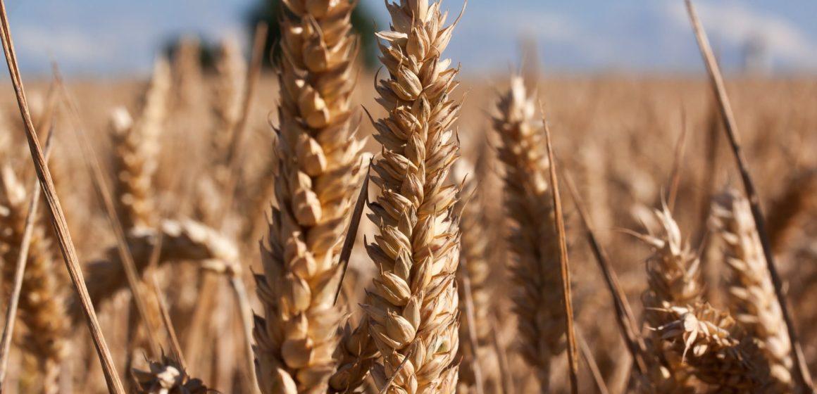 Spadek prognoz produkcji pszenicy sprzyja stronie popytowej. Cena złota w okolicach 1500 USD